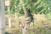 変わった木です。