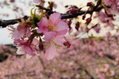 梅祭りリベンジ