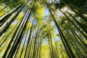 竹林でお抹茶
